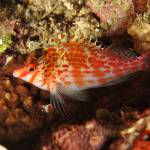"""Threadfin Hawkfish"" by The_World_Underwater"