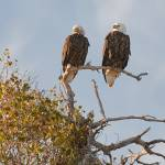 """Male & Female Bald Eagle."" by ENKPHOTOGRAPHY"