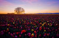 The Tulip Field