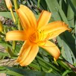 """Yellow Lily"" by lucesalegres"