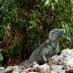 """Blue Iguana Cayman Islands"" by JBrooker"