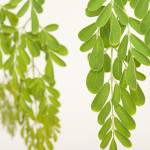 """macro shot of moringa leaves"" by Rajeshbac"
