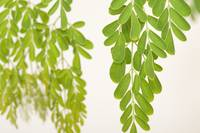 macro shot of moringa leaves