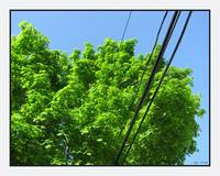 Tree Canopy with Tele Wires