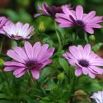 """Lavender Lovelies"" by photo_witt"