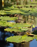 Lily Pads in a Row