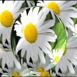 """Doo Wop Daisies"" by CherylCharette"