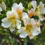 """alstroemeria flowers"" by DonnaGrayson"
