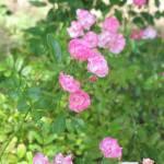 """""""Pink Flower Garden"""" by DonnaGrayson"""