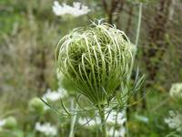 Queen Anne's Lace 9378