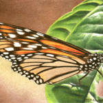 """Monarch #1"" by denisejhowardart"