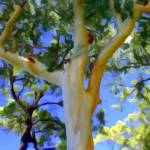 """""""Forest Red Gum"""" by chrisbutler"""