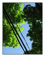 Tree Canopy and Tele Wires