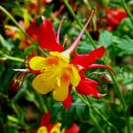 """""""Red Columbine"""" by Scenic_Lens"""