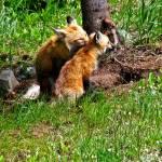 """Fox & Kit"" by Scenic_Lens"