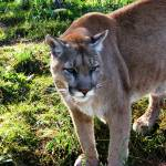 """""""Mountain Lion 3"""" by Scenic_Lens"""