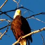 """""""Bald Eagle"""" by Scenic_Lens"""