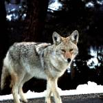 """""""Gray Coyote"""" by Scenic_Lens"""