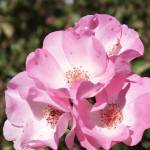 """Pink Petals"" by Videotape"