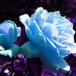 """Abstract Blue Rose"" by Videotape"