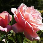 """Pink Rose"" by Videotape"