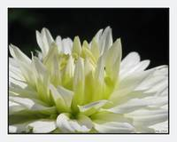 White Dahlia Flower with Yellow Center
