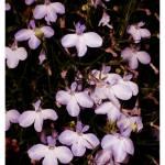 """Violettes"" by TashaYBrown"