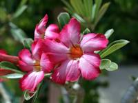 Desert Rose Flower