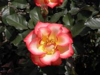Red, White and Yellow Rose
