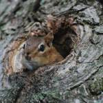 """""""Chipmunk Lookout"""" by photo_witt"""