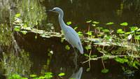 White Egret in the Lily Pads
