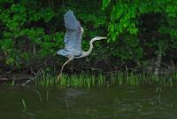 Great Blue Heron talking flight