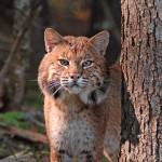 """Maine Bobcat"" by antlerlady53"