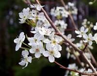 Pear Tree Blossoms III