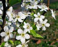 Pear Tree Blossoms IV