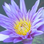 """Water Lilly"" by ZPPhoto"