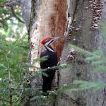 """Male Pileated Woodpecker"" by antlerlady53"