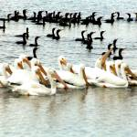 """Cormorants & White Pelicans"" by lwbhoosier"