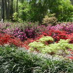 """Azalea Garden"" by Roberth"