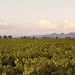 """Vineyard Near the Sutter Buttes"" by SteveNakatani"