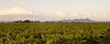 Vineyard Near the Sutter Buttes