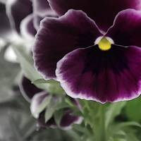 Purple Pansy    7625-5