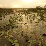 """Lily Pads on Lake Jackson"" by SteveNakatani"