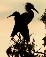 Little Blue Herons Shadow