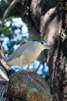 Black Crowned Night Heron 021