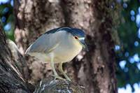 Black Crowned Night Heron 025