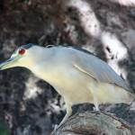 """Black Crowned Night Heron 029"" by rdwittle"