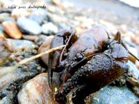 Crawling Crayfish