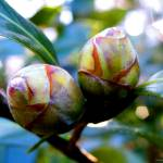 """Two Young Camellia"