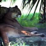"""""""Florida Panther 001"""" by rdwittle"""